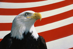 American bald eagle. This is a bust of an American bald eagle looking out toward the right. He is set against a background of red and white stripes from the Royalty Free Stock Image