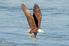 American Bald Eagle. Carry's a fish with one talon Stock Photos