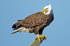 American Bald Eagle. Standing on a beam Royalty Free Stock Photos