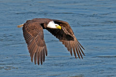 American Bald Eagle. In flight after fish grab stock images