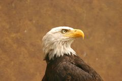 American bald eagle. (Haliaeetus leucocephalus) portrait at the zoo Stock Photography