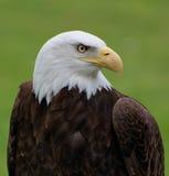 American Bald Eagle. Bald Eagle staring at you Royalty Free Stock Photos