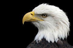 American Bald Eagle. Closeup portrait of a bald eagle Stock Images