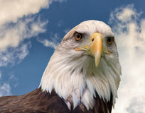 American Bald Eagle. An American Bald Eagle stands vigilant over the land Royalty Free Stock Images