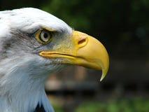 American Bald Eagle. A closeup shot of the profile of an American Bald Eagle Stock Image