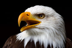 American Bald Eagle. Closeup portrait of the head of an American Bald Eagle in profile, isolated on a black background Royalty Free Stock Photography