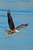 American Bald Eagle. In flight carrying large fish Stock Photos