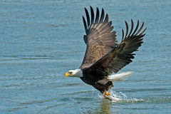 American Bald Eagle. Making a fish grab Stock Photo