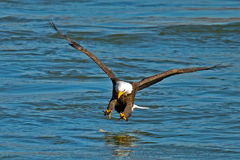 American Bald Eagle. Making a fish grab royalty free stock photography