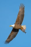 American Bald Eagle. In flight carrying a large bleeding fish stock photography