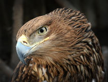 American bald eagle. Portrait animals Royalty Free Stock Images