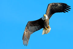 American Bald Eagle. In flight carrying a fish Royalty Free Stock Images