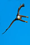 American Bald Eagle. In flight against blue sky Royalty Free Stock Images