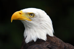 American Bald Eagle. Portrait of an American Bald Eagle Royalty Free Stock Photography