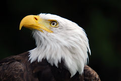 American Bald Eagle. Portrait of an American Bald Eagle (Haliaeetus leucocephalus Stock Photography