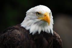 American Bald Eagle. Portrait of an American Bald Eagle (Haliaeetus leucocephalus Stock Photo