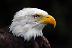 American Bald Eagle. Portrait of an American Bald Eagle (Haliaeetus leucocephalus Royalty Free Stock Photo