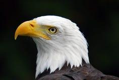 American Bald Eagle. Portrait of an American Bald Eagle (Haliaeetus leucocephalus Royalty Free Stock Photography