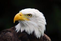 American Bald Eagle. Portrait of an American Bald Eagle (Haliaeetus leucocephalus Stock Images
