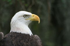 American Bald Eagle. The American Bald Eagle, a symbol of power, strength, freedom and wilderness in America Royalty Free Stock Photos