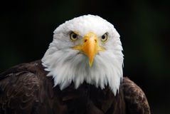 American Bald Eagle Stock Photos