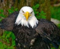 American Bald Eagle. Bald Eagle in the forest Stock Photos