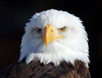 American Bald Eagle Royalty Free Stock Photos
