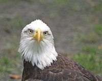 American Bald Eagle. American proud and stern fierce looking Bald Eagle royalty free stock photography
