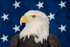 American Bald Eagle. In front of a USA flag Stock Photos