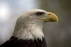 American Bald Eagle. In side on portrait royalty free stock images