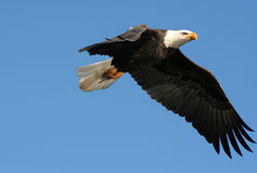 American bald eagle. A soaring bald eagle stock images