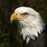 American bald eagle. An observer eagle stock photos