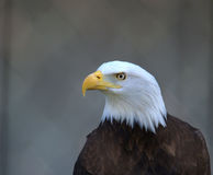 American Bald Eagle. Profile of an American Bald Eagle royalty free stock photos