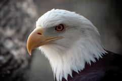 Free American Bald Eagle Stock Images - 913474