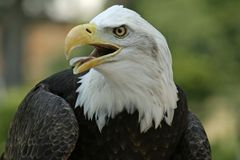 American Bald Eagle. Close up image of American Bald Eagle Stock Image