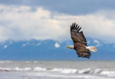 American Bald Eagle at Alaska Stock Image