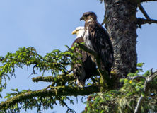 American Bald Eagle And Its Baby Sitting On Tree Branch Stock Image
