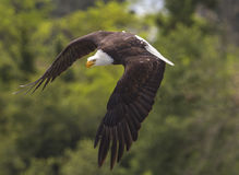 American Bald Eagle attack. A close-up of a American Bald Eagle showing how to attack his prey Royalty Free Stock Photography