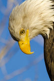 American Bald Eagle in Autumn Setting Stock Photos