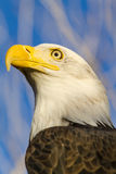 American Bald Eagle in Autumn Setting Stock Photography