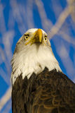 American Bald Eagle in Autumn Setting Royalty Free Stock Image