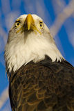 American Bald Eagle in Autumn Setting Royalty Free Stock Images