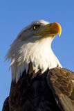 American Bald Eagle in Autumn Setting Stock Image