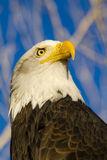 American Bald Eagle in Autumn Setting Royalty Free Stock Photography