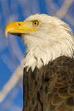 American Bald Eagle in Autumn Setting Stock Images