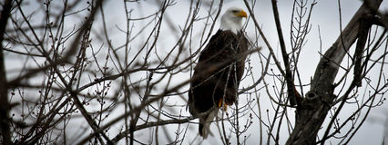 American Bald Eagle Banner Stock Image
