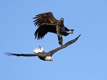 American Bald Eagle Battle Royalty Free Stock Image