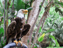 American Bald Eagle. Big predatyor bird looking for target in tropical forest Royalty Free Stock Images
