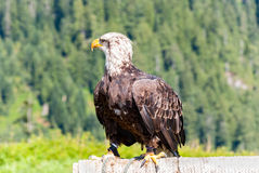 American Bald Eagle. Bald Eagle in Birds in Motion Flying display on Grouse Mountain, Vancouver, BC, Canada Stock Photo