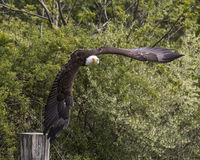 American Bald Eagle, Canadian Raptor Conservancy Stock Photography